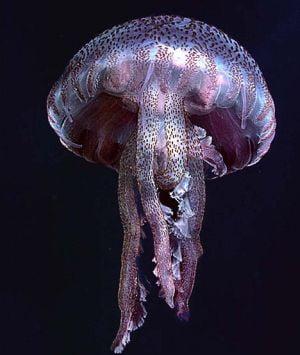 Meduze veninoase violet invadeaza plajele din Marea Britanie