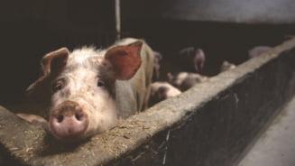 Mega-focar de pesta porcina africana la ferma Smithfield din Gataia Noua, Timis. Mii de porci vor fi sacrificati