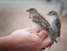 Miercuri a fost si Ziua internationala a vrabiilor: De ce sa ocrotim micuta pasare?