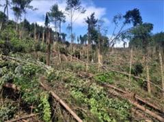 Mii de arbori smulsi din pamant de un ciclon in Poiana Micului. 14 hectare de padure au fost distruse