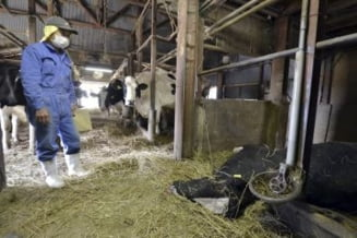 Mii de bovine aflate in perimetrul evacuat de la Fukushima vor fi sacrificate