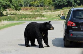 Ministerul Transporturilor vrea sa impiedice masacrarea ursilor pe sosele, dar zice ca nu e nevoie de o strategie pentru asta