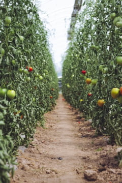 "Ministrul Agriculturii spune ca Programul Tomata a avut ""impact zero"": A fost fraudat masiv, iar importurile au crescut"