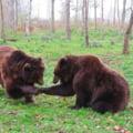 """Ministrul Mediului: """"Am initiat consultari cu privire la atacurile de ursi in Tinutul Secuiesc"""""""