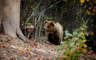 Ministrul Mediului: Am initiat consultari cu privire la atacurile de ursi in Tinutul Secuiesc pentru a discuta despre modificarea legislatiei