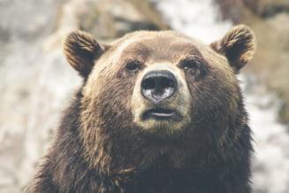 """Ministrul Mediului, despre interventia in cazul ursilor agresivi: """"Vorbim de interventii in intravilan, nu in habitatul natural"""""""