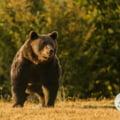 """Ministrul Mediului, noi declaratii despre ursul Arthur: """"Nu ar trebui sa fie o tema daca este cel mai mare. Ursii cei mai mari din Europa sunt in Romania"""""""