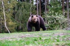 Ministrul Mediului aprobă împuşcarea a cinci urşi din judeţele Argeş, Mureş şi Suceava