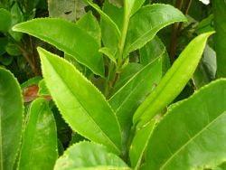 Miracolul ceaiului verde