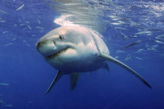 Misterioasa migratie a marelui rechin alb, in sfarsit deslusita