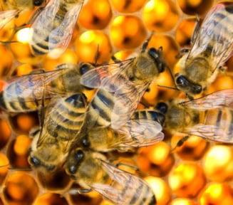 Misterul mortii a zeci de milioane de albine