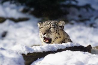 Moment rar cu un leopard de zapada, surprins de o camera instalata in salbaticie (Video)