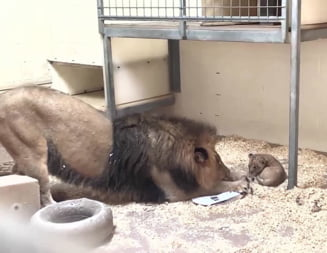 Momentul in care un leu isi vede pentru prima oara puiul (Video)