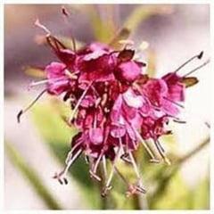Nardul, planta biblica tamaduitoare