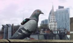 Nivelul poluarii de la Londra, masurat cu ajutorul porumbeilor (Foto & Video)