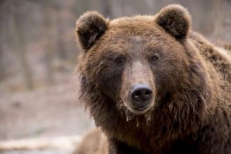 Noi probleme cu urșii în Suceava. Un adolescent a mărturisit că un urs i-a sfârtecat două oi chiar în fața sa