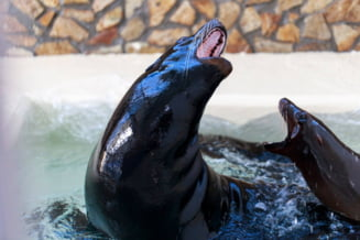 Noi vedete la Delfinariul din Constanta: Trei lei de mare vor face spectacol (Galerie foto&Video)