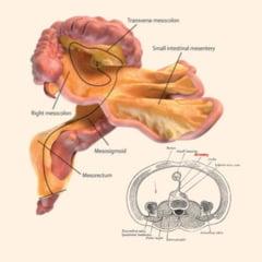 Nou organ descoperit in corpul uman