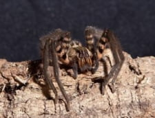 Noua Viagra: veninul de paianjen care mentine erectia 4 ore