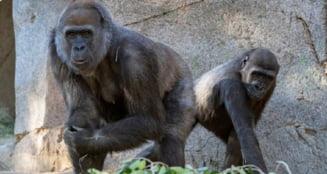 Noua maimute mari, patru urangutani si cinci Bonobo, de la gradina zoologica din San Diego, vaccinate impotriva covid-19