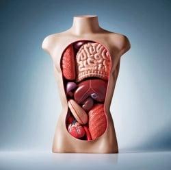Noua organe inutile din corpul omenesc