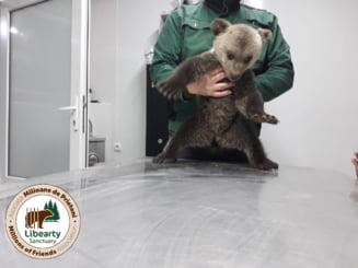 O asociatie din Sibiu, amendata cu 10.000 de lei de Garda de Mediu, dupa ce a salvat doi pui de urs aflati in stare grava