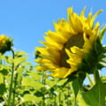 O ferma a fost inchisa publicului, dupa ce mii de oameni au incercat sa se fotografieze cu lanul de floarea soarelui