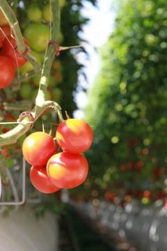 O ferma produce mii de tone de rosii in desert fara apa dulce, combustibili fosili sau pamant