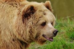 O fetita de patru ani si un barbat au fost raniti de un urs in judetul Brasov