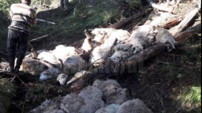 O haită de lupi a făcut prăpăd în turma de oi a unui cioban. Peste 60 de mioare ucise
