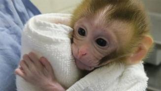 O maimuta da speranta tinerilor diagnosticati cu cancer. Inca pot deveni tatici