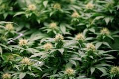 O mare tara a lumii a legalizat marijuana in scop medicinal