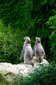 O noua pereche de pinguini gay face senzatie la Berlin! Povestea plina de speranta a lui Skipper si Ping