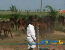O noua serie de analize pentru caii adunati in padurea Letea