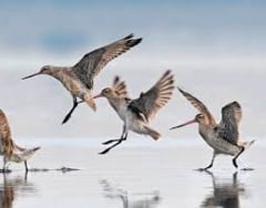 O pasare a doborat recordul la cel mai lung zbor fara oprire
