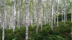 O scoarta de copac mestecata in urma cu aproape 6.000 de ani a dus la reconstructia chipului celei care o consumase