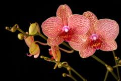 O specie de orhidee de dimensiuni impresionante a fost descoperita in Ecuador