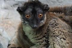 O specie rara de lemuri si alte animale, aduse din Ungaria la Gradina zoologica din Oradea (Foto)