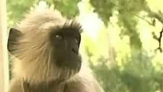 O tara intreaga a ramas fara curent din cauza unei maimute