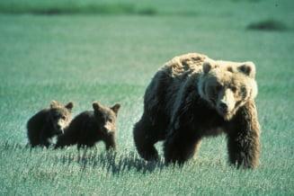 O ursoaică cu pui a deturnat planurile a 13 turiști. Aceștia au abandonat expediția din munți