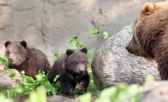 O ursoaica baga in sperieti locuitorii din Varfuri, judetul Dambovita
