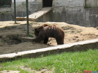 O ursoaica si trei pui, vazuti langa Carrefour, pe o sosea intens circulata din Brasov