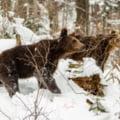 O ursoaica si trei pui au dat tarcoale cabanei Balea Lac VIDEO