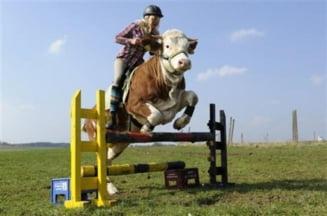 O vaca britanica se crede cal (Video)