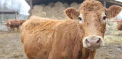 O vaca din Polonia a urmat exemplul suratei din Olanda: A evadat in drum spre abator si traieste singura pe o insula