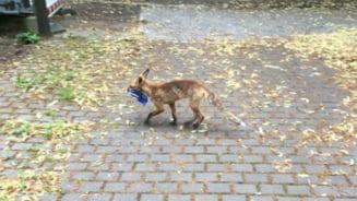 O vulpe a furat peste 100 de pantofi dintr-un cartier din Berlin