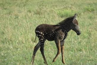 O zebra s-a nascut cu pete in loc de dungi. E adorabila, insa nu toate vestile sunt bune