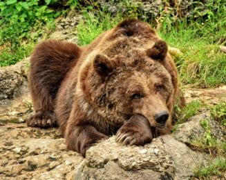 ONG-urile cer Guvernului sa nu ucida 2.000 de ursi: Vanatoarea nu rezolva conflictul om-urs!