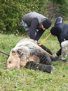 OPERAEsIUNE SALVARE - Urs salvat de autoritati dupa ce a fost prins intr-un lat