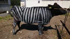 Oamenii de stiinta au pictat vacile cu dungi, dupa modelul zebrelor. Rezultatul a fost surprinzator